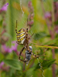 Spider with prey Royalty Free Stock Images