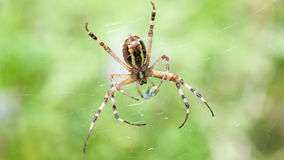 Female Wasp spider with prey Stock Photography