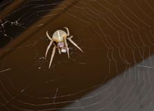 Spider with prey in web Royalty Free Stock Photos