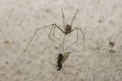 Spider preying an insect.  Royalty Free Stock Images
