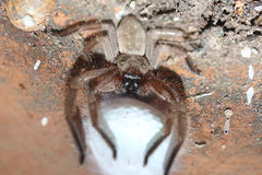 Spider Protecting Eggs Royalty Free Stock Photos
