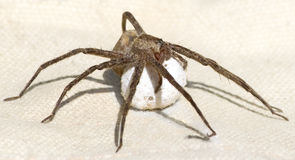 Spider protecting Her Egg Sac Stock Photo