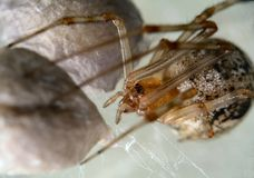 Spider protecting her egg sack. Close up of a common household spider and her eggs Stock Photography