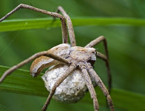 Spider protecting its cocoon Stock Photography