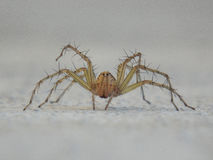 Spider. On the prowl Oxyopes birmanicus Thorell. s of India stock image