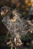 At the spider quilt. Overblown weed wrapped in cobwebs autumn morning Stock Photos