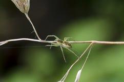 Spider. Raft spider (Dolomedes fimbriatus) on bent Stock Image