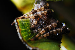 Spider After A Rain. A macro photo taken on an unmoving spider all curled up after a rain Stock Photography