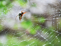 Spider after rain Royalty Free Stock Photo