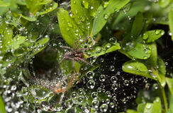Spider and raindrops on web Royalty Free Stock Photography