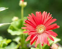 Spider Reaching in a Red Daisy. Red Daisy with beautiful petals and a grey and balck spider reaching for the next petal. Enough room for text on the left side of royalty free stock photos