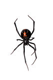Spider, Red-back underside, characteristic bottle shaped mark Royalty Free Stock Photo