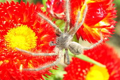 Spider on red flowers Stock Photo