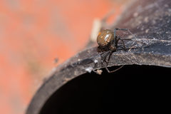 Spider. Redback or Black Widow, at dead on the concrete pipe Royalty Free Stock Photos