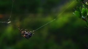 Spider repairing web stock video footage