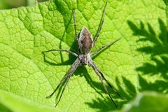 Nursery web spider Stock Images