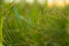 Spider on rice field thailand royalty free stock photos
