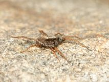 Spider on rock Royalty Free Stock Photos