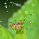 The spider's abdomen. This spider rest on its web, and its abdomen toward us Royalty Free Stock Photo