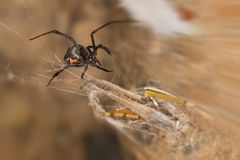 Black widow spider and catch.Black widows are notorious spiders identified by the colored, hourglass-shaped mark on their abdomens. This spider`s bite is much royalty free stock photography
