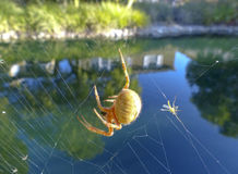A Spiders Lunch Royalty Free Stock Photo