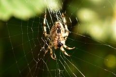 Spider& x27; s-rengöringsduk Arkivfoto