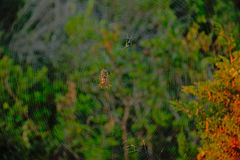 Spider in it`s web Araneae. Spider sitting in the center of  it`s web,waiting for a prey, selective fuocus with blurred plants in the background Royalty Free Stock Photo