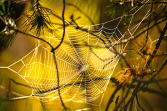 Spider's Web In Autumn. Spider's web between pine branches on sunny yellow background in autumn morning royalty free stock photos