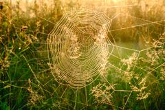 Spider`s web closeup with drops of dew at dawn. Wet grass before sun raise. Spider web with droplets of water. Natural royalty free stock photos