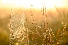 Spider`s web closeup with drops of dew at dawn. Wet grass before sun raise. Spider web with droplets of water. Natural royalty free stock images