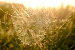 Spider`s web closeup with drops of dew at dawn. Wet grass before sun raise. Spider web with droplets of water. Natural royalty free stock photo
