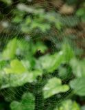 Spider And It`s Web. Covered in morning dew with a green foliage background Royalty Free Stock Image