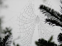 Spider's Web in Pine Grove. Spider's web with rain drops in a pine grove Royalty Free Stock Image