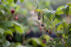 Spider's Web in the thickets of raspberry Royalty Free Stock Photos