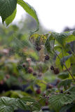 Spider's Web in the thickets of raspberry Royalty Free Stock Photo