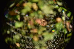 Spider 's web. Wet cobweb at night. Spider , weaving, water on the threads as corals . Cobweb during fog water settled on a thread . Drops of water. They glisten Royalty Free Stock Image