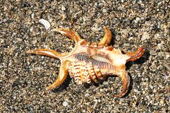 Spider seashell, ventral side up Royalty Free Stock Photo