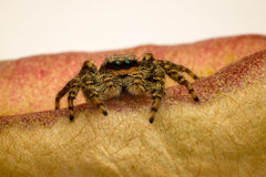 Spider on seed box. Macro photograph of a small (6mm) jumping spider on a seed box Stock Photo
