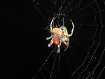 Spider seizes bug the web Royalty Free Stock Photography