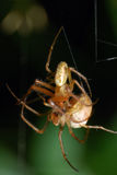 Spider sex Stock Image