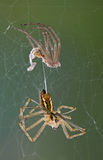 Spider after shedding Stock Photo