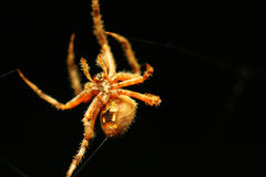 Spider shooting thread Stock Photography
