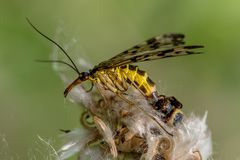 Little spider sits on a flower and eats a common scorpion fly. Spider sits on a flower and eats a common scorpion fly Royalty Free Stock Photo