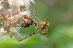 Little spider sits on a flower and eats a common scorpion fly. Spider sits on a flower and eats a common scorpion fly Royalty Free Stock Image