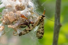 Little spider sits on a flower and eats a common scorpion fly. Spider sits on a flower and eats a common scorpion fly Stock Photography