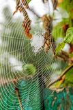 Spider sits on his web. Royalty Free Stock Image