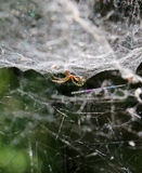 Spider sits in its lair. Ictureof a spider sits in its lair Stock Photos
