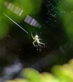Spider sits in its lair. Picture of a spider sits in its lair Royalty Free Stock Images