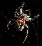 The spider sits on a web on the hunt Stock Photo