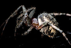 The spider sits on a web on the hunt Royalty Free Stock Photography